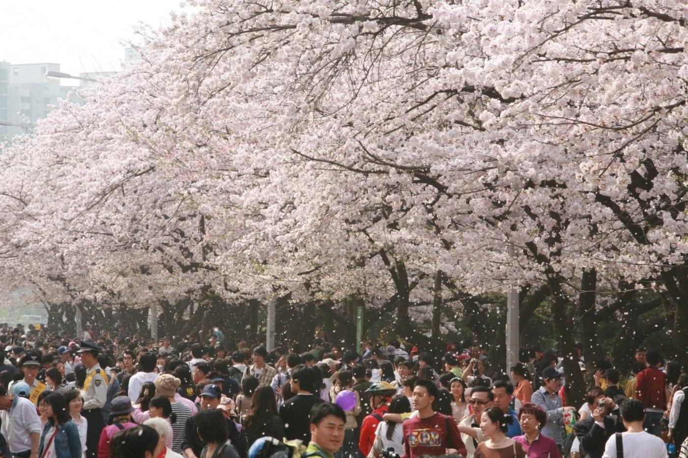 Cherry Blossom Festivals Korea 2016