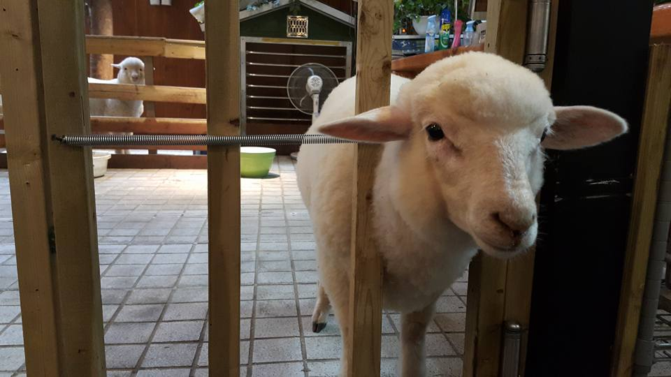 Themed Cafes in Seoul thanks nature cafe sheep cafe