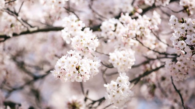 cherry blossom origins korea